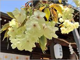 八重桜 ~御衣黄(ギョイコウ)~