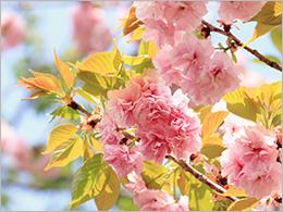 八重桜 ~福禄寿(フクロクジュ)~