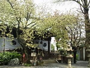 八重桜 御衣黄・福禄寿