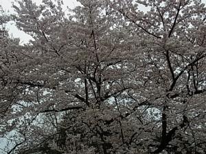 染井吉野0408