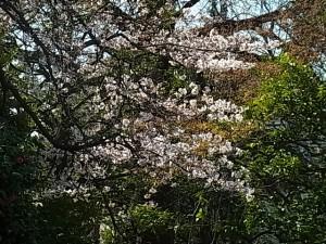 染井吉野 開花