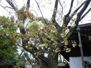 社殿前の八重桜