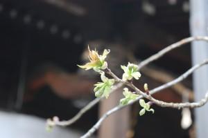 東京で桜の開花発表