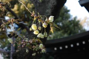 ソメイヨシノが八分咲き