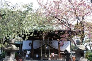 八重桜が見ごろです