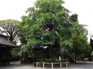 願掛 公孫樹(がんかけ いちょう)