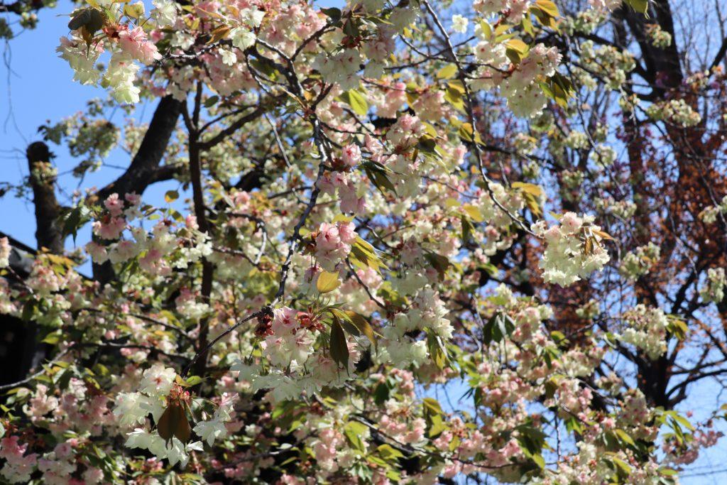 4月6日境内の花々